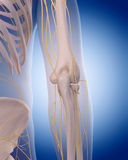Nerves of the  elbow Royalty Free Stock Photo