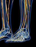 The nerves of the foot Stock Images