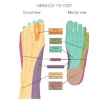 Nerves of the foot. Vector illustration diagram of the nerves and cutaneous innervation of the human foot with palmar and dorsal view. Used transparency stock illustration
