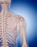 Nerves of the  shoulder Stock Images