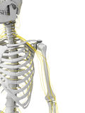 Nerves and skeleton Royalty Free Stock Photography