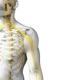 Nervi della spalla Fotografia Stock