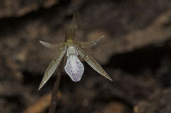 Nervilia trangensis Stock Photos
