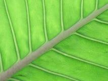 Nervio central y venas de una hoja Imagen de archivo libre de regalías