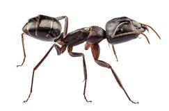 Nervio vago del camponotus de la especie de Ant del carpintero Fotos de archivo