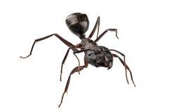 Nervio vago del camponotus de la especie de Ant del carpintero Imágenes de archivo libres de regalías
