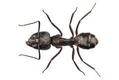 Nervio vago del camponotus de la especie de Ant del carpintero Foto de archivo libre de regalías