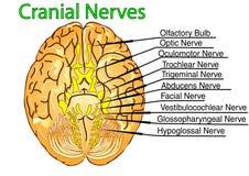Nervios craneales Imagen de archivo libre de regalías