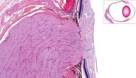 Nervo ottico e retina Immagini Stock