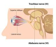 Nervos de Trochlear e de Abducens Imagens de Stock