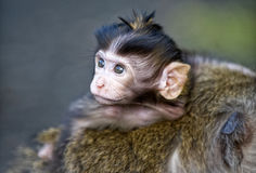 Nervous Baby Monkey Royalty Free Stock Photo