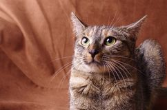 Nervous cat studio shoot. A studio portrait of an angry tabby cat on a brown background Stock Photos