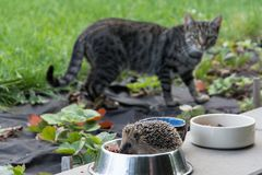 Nervous cat watching cheeky hedgehog, that steals cat feeding. Nervous cat watching hedgehog, that steals cat feeding; garden near the house Royalty Free Stock Images