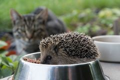 Nervous cat watching cheeky hedgehog, that steals cat feeding. Nervous cat watching hedgehog, that steals cat feeding; garden near the house Stock Images