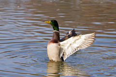 Nervous duck. A nervous duck with open wings Royalty Free Stock Photos