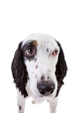 Nervous English Setter Dog Royalty Free Stock Image