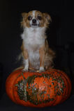 Nervous Halloween chihuahua. A Chihuahua dog sits on a heirloom pumpkin staring nervously to the side Stock Photography