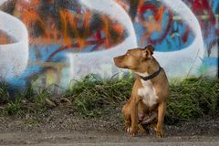 Nervous pitbull under graffiti bridge stock image