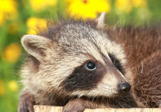 Nervous Raccoon. In a garden during summer Stock Photography