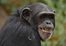 Nervous smile. A young female chimp has a nervous smile with a profile to the right stock photography