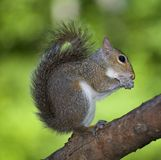 Nervous squirrel Royalty Free Stock Photography