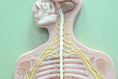 Nervous system. Anatomy of human nervous system royalty free stock photo