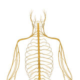 Nervous System Stock Image