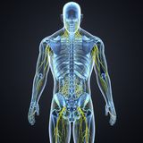 Nervous System and Lymph Nodes with Skeleton Body Posterior view. The nervous system is a complex network of nerves and cells that carry messages to and from the Stock Images