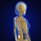 Nervous system of female body in blue. 3d art illustration of Nervous system of female body in blue Stock Photos
