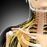 Nervous system of female body Royalty Free Stock Images