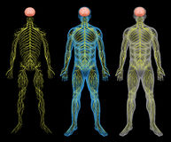 The nervous system. The human nervous system on a black background Stock Photography