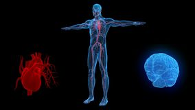 Nervous system and human circulatory system. 3d model. stock footage