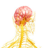 Nervous system of human front side view Royalty Free Stock Images