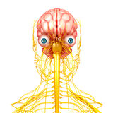 Nervous system of human front side view Stock Photography
