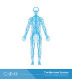 The nervous system Royalty Free Stock Photo