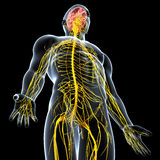 Nervous system of male. Human anatomy illustration of the nervous system of male Stock Photos