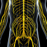 Nervous system of male back side. Human anatomy illustration of the nervous system of male back side Royalty Free Stock Photography