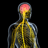 nervous system of male front side view Royalty Free Stock Photos