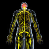 Nervous system of male with full back body. Human anatomy illustration of the nervous system of male with full back body Royalty Free Stock Image