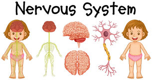Free Nervous System Of Little Girl Stock Photos - 73719283