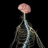 Nervous system Royalty Free Stock Photo
