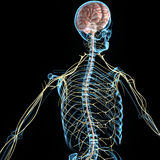 Nervous system. The nervous system is the part of an animal's body that coordinates its voluntary and involuntary actions and transmits signals to and from Royalty Free Stock Photography