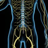 Nervous system. The nervous system is the part of an animal's body that coordinates its voluntary and involuntary actions and transmits signals to and from Royalty Free Stock Photo