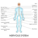Nervous System. Vector illustration of diagram of nervous system Royalty Free Stock Image