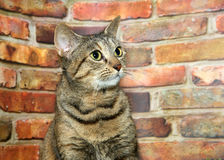 Nervous tabby cat by brick wall looking up. Portrait of one brown and black tabby cat, nervously looking to viewers right. Sitting in front of a brick wall. Copy royalty free stock image