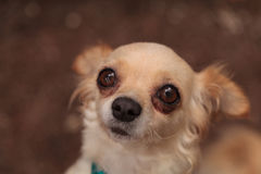 Nervous Tan colored Chihuahua puppy Royalty Free Stock Image