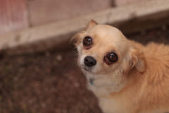 Nervous Tan colored Chihuahua puppy Royalty Free Stock Photography
