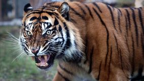 Nervous Tiger. Close up portrait of walking Sumatran Tiger stock photo