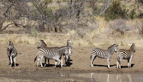 Nervous zebra by the water hole. Royalty Free Stock Photo