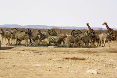 Nervous Zebra at the waterhole Royalty Free Stock Images